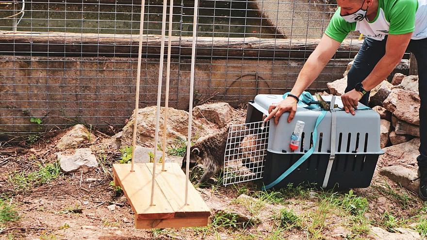 L'os rentador troba refugi a Sant Salvador