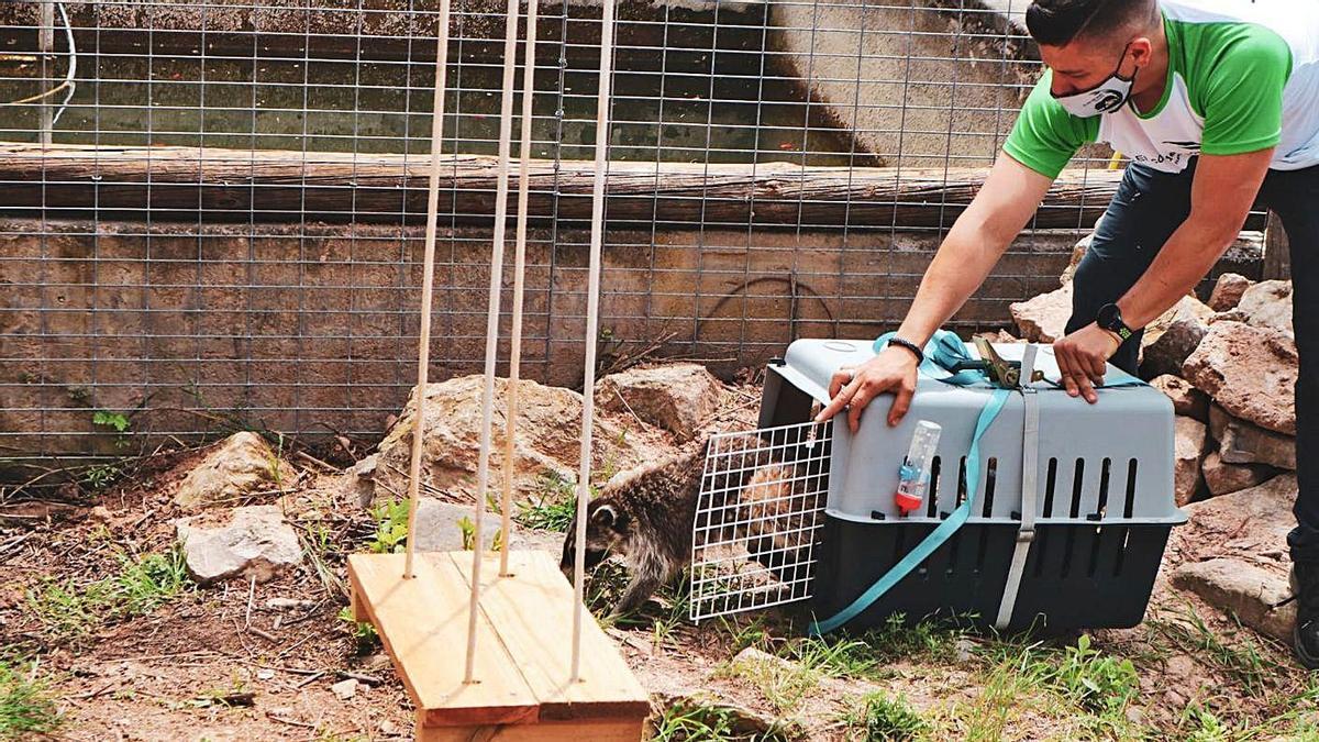 El refugi El Cau del Bosc de Sant Salvador va rebre ahir l'Arya, un exemplar d'os rentador | REFUGI EL CAU DEL BOSC
