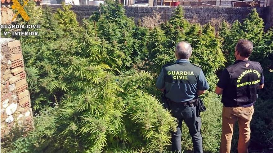 Desmanteladas cinco plantaciones de marihuana e intervenidos 24 kilos de cogollos en varios municipios de la provincia