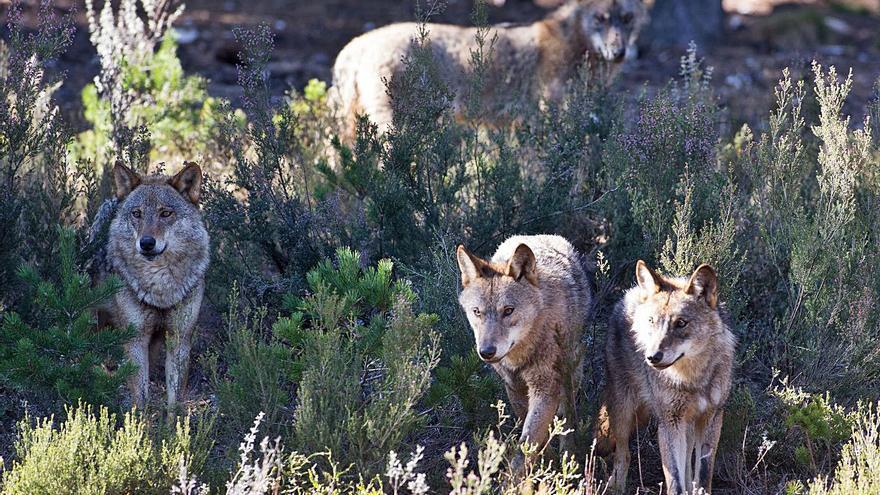 """Convivir con lobos """"es posible"""", pero hace falta """"apoyo e incentivos"""", dice un estudio"""