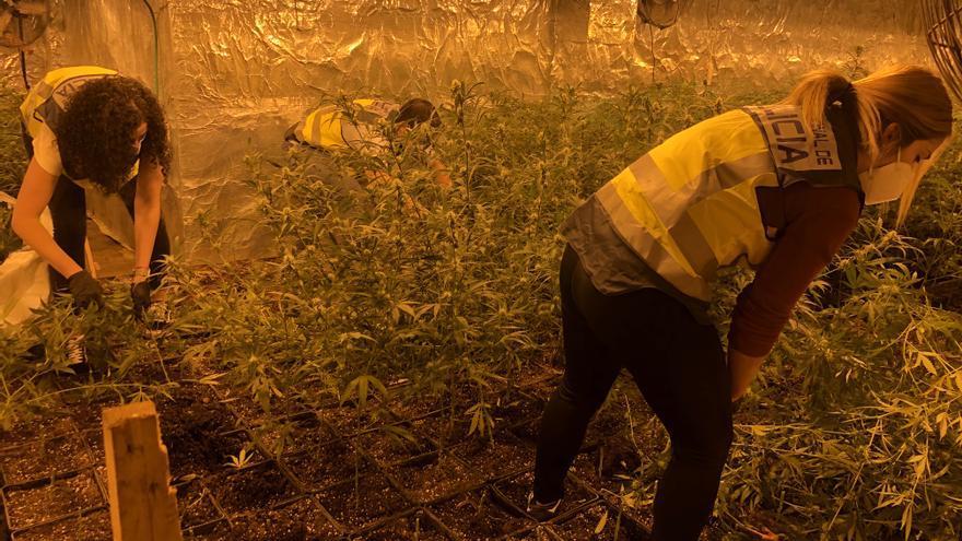 Hallan más de 2.100 plantas de marihuana en un chalé de Godelleta