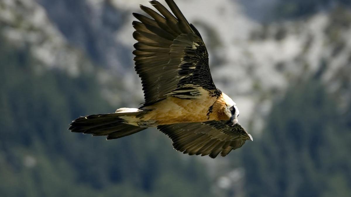 En la imagen, un ejemplar de quebrantahuesos volando.