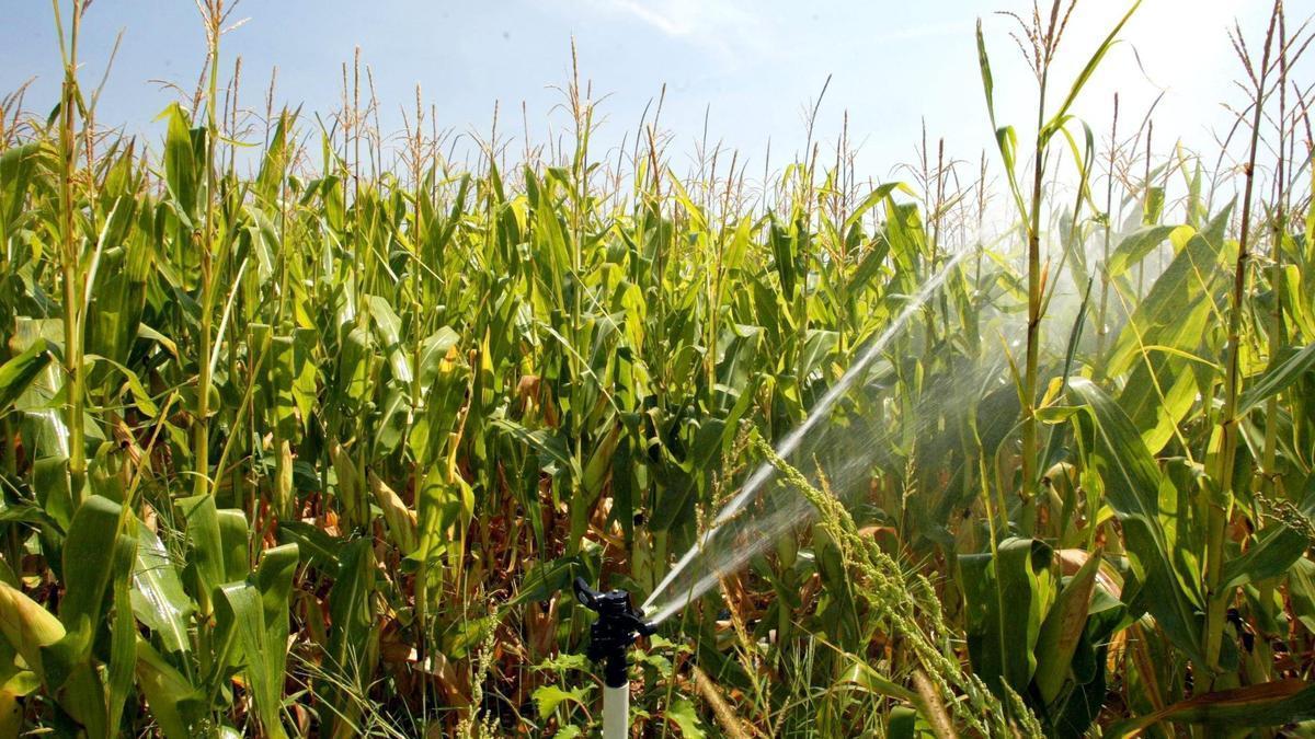 Riego por aspersión del maíz.