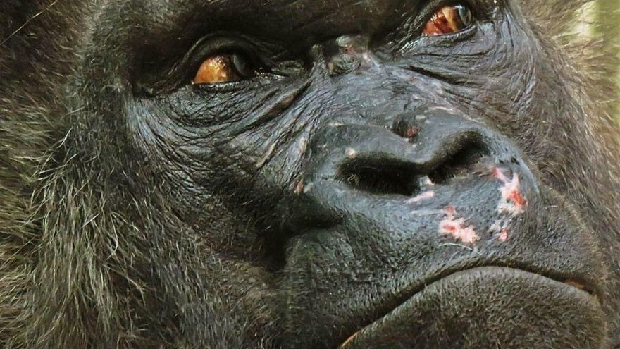 Coronavirus: adiós a gorilas, chimpancés y orangutanes