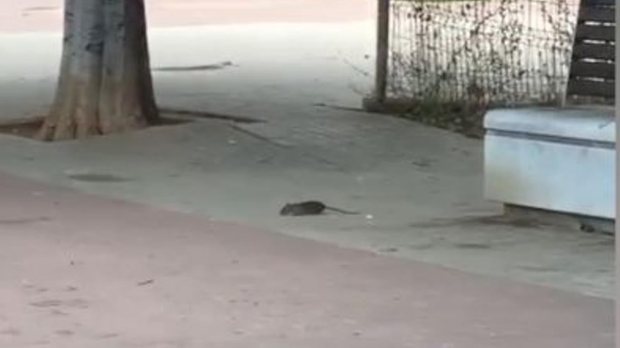 VÍDEO | Vecinos de Gran Vía denuncian la presencia de ratas en sus calles