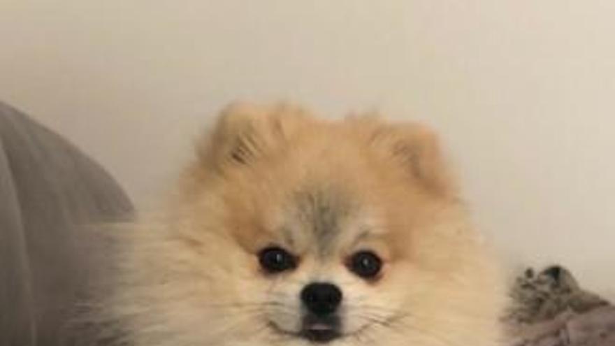 Mil euros para encontrar a Pop, su perro Pomerania Toy