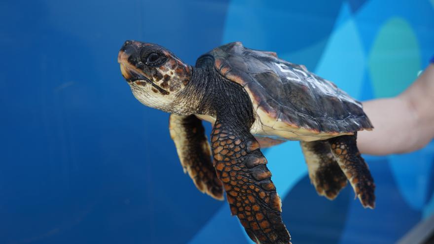 La tortuga marina Nbego, encontrada en abril en Cariño, vuelve al mar tras su recuperación
