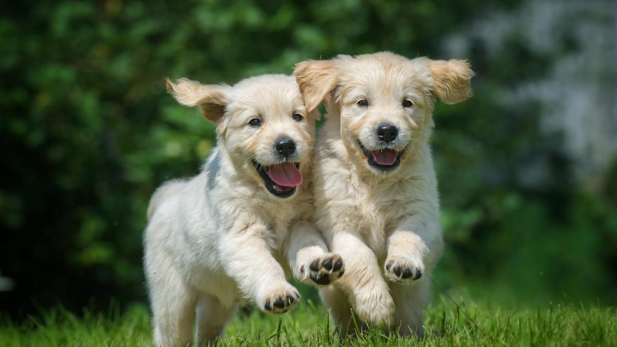 Dos perros juegan en el cesped