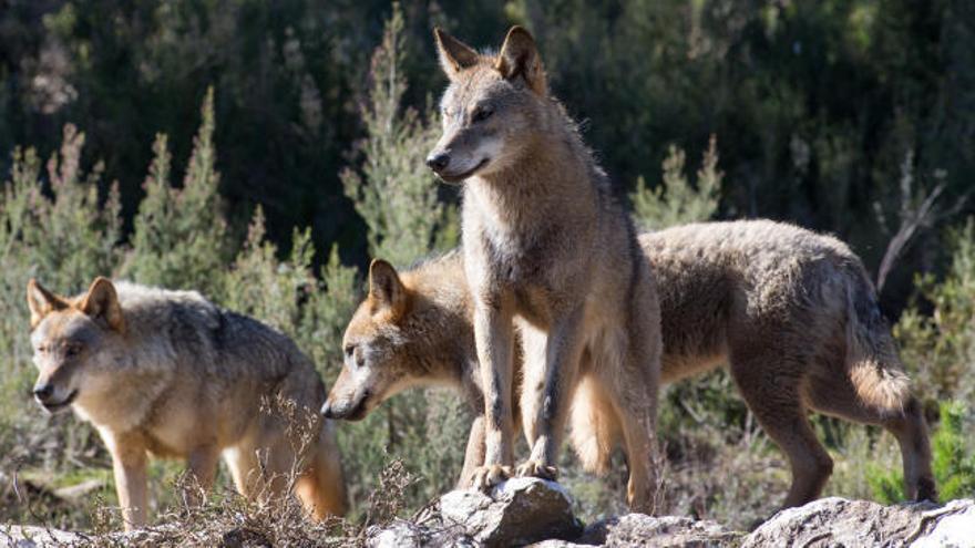 EDITORIAL   Con la prohibición de su caza el lobo sigue desprotegido y el ganadero también