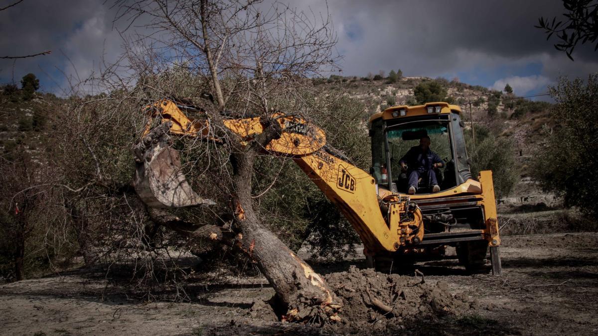 Trabajos para arrancar árboles en campos del municipio de Balones.