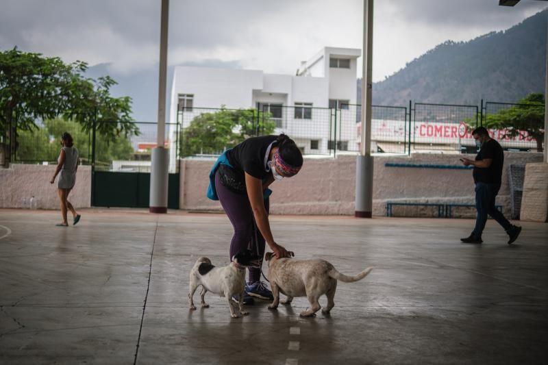 Volcán en Canarias: recogida de animales afectados por la erupción