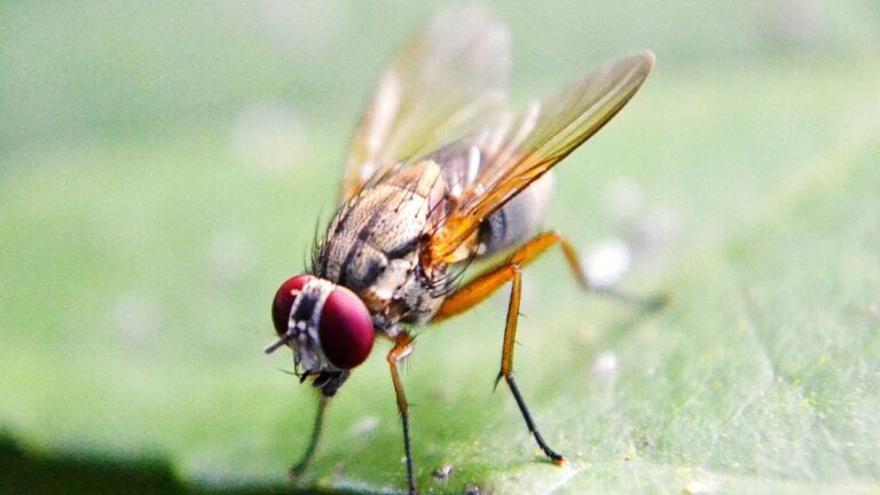 Las moscas tienen un corazón en la cabeza