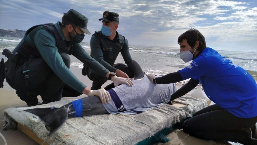 El delfín fallecido en Cullera sufría una lesión neurológica, según la necropsia