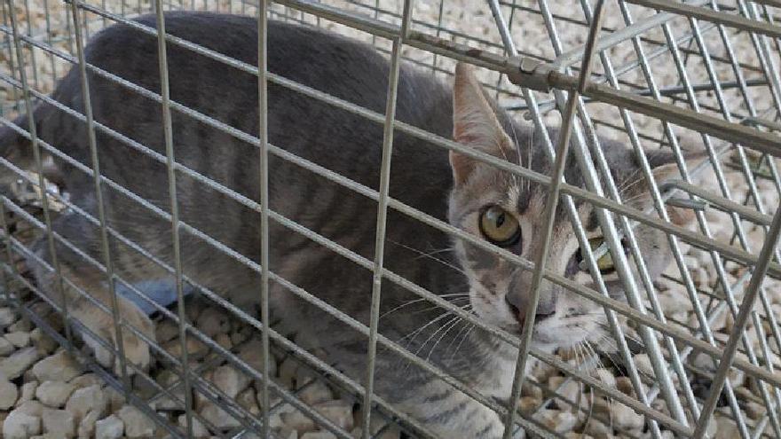 Orihuela inicia la campaña de esterilización de gatos