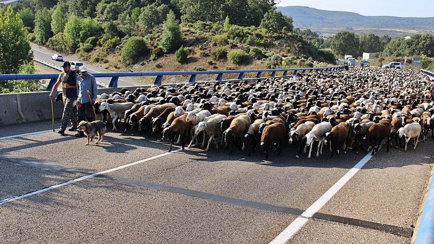 GALERÍA Y VÍDEO | 4.000 ovejas trashumantes cruzan Sanabria
