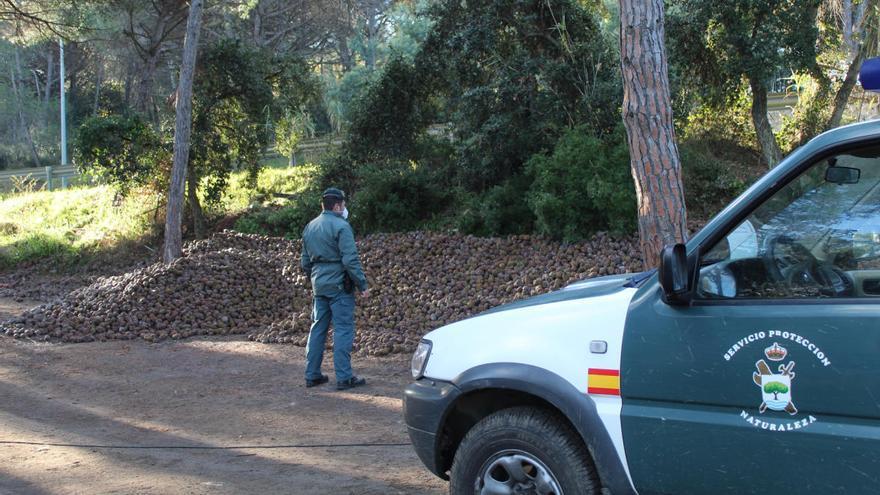 El Seprona i la Policia Local de Santa Cristina comissen 36,5 tones de pinyes