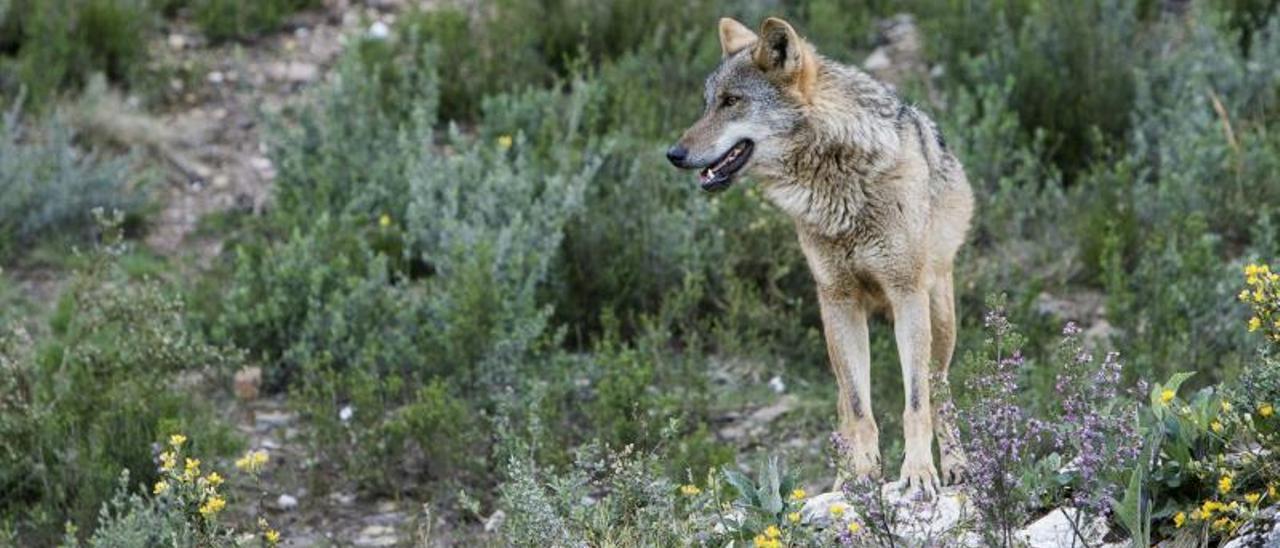El Gobierno y las autonomías acuerdan la protección del lobo