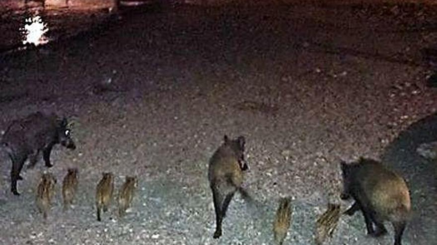 Un senglar es passeja per Platja d'Aro
