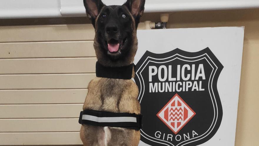 Una gossa policia de Girona descobreix un home que transportava 1,5kg d'haixix