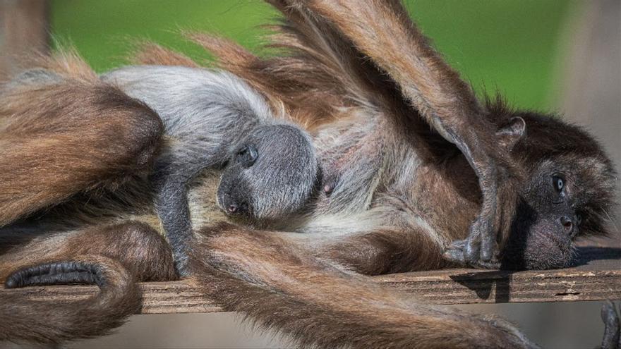 Nace en el Zoo de Barcelona una cría de mona araña, especie en peligro de extinción