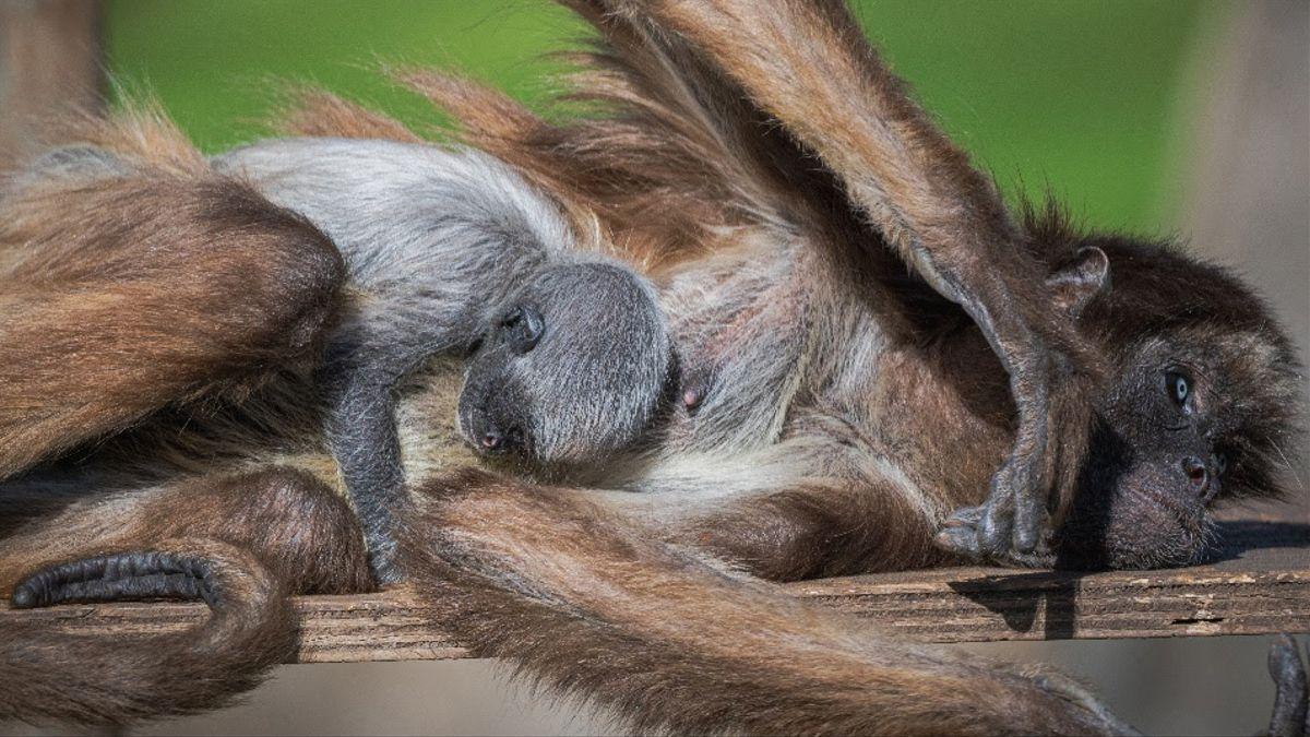 Emi, con su cría pegada a su cuerpo, en el Zoo de Barcelona.