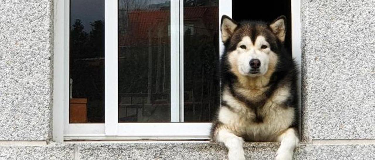 Un husky mirando por la ventana de un apartamento.