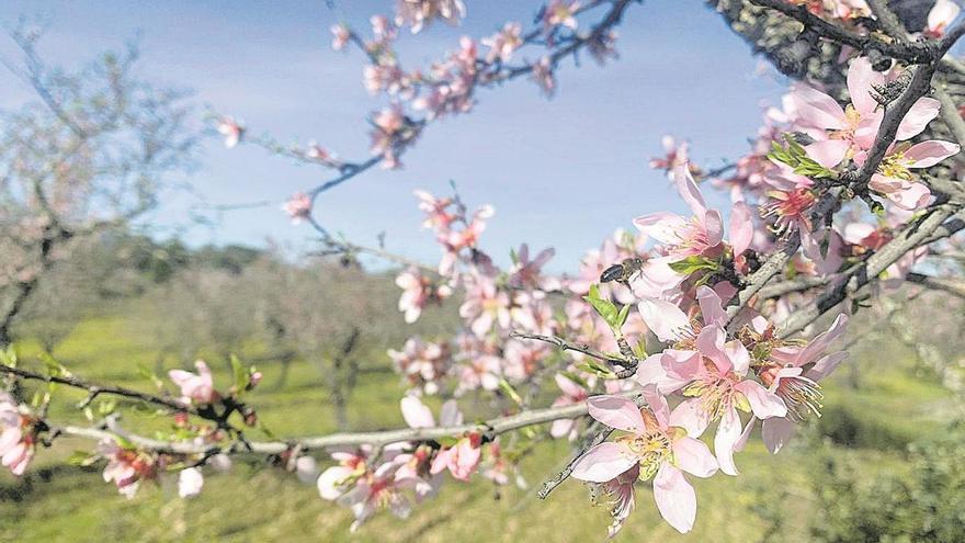Garrovillas florece con sus almendros