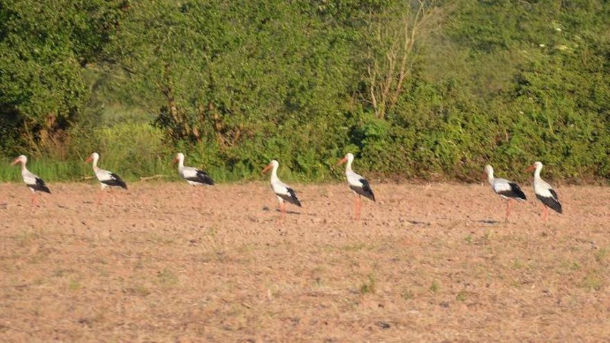 Cigüeñas de parada y fonda en Villaviciosa