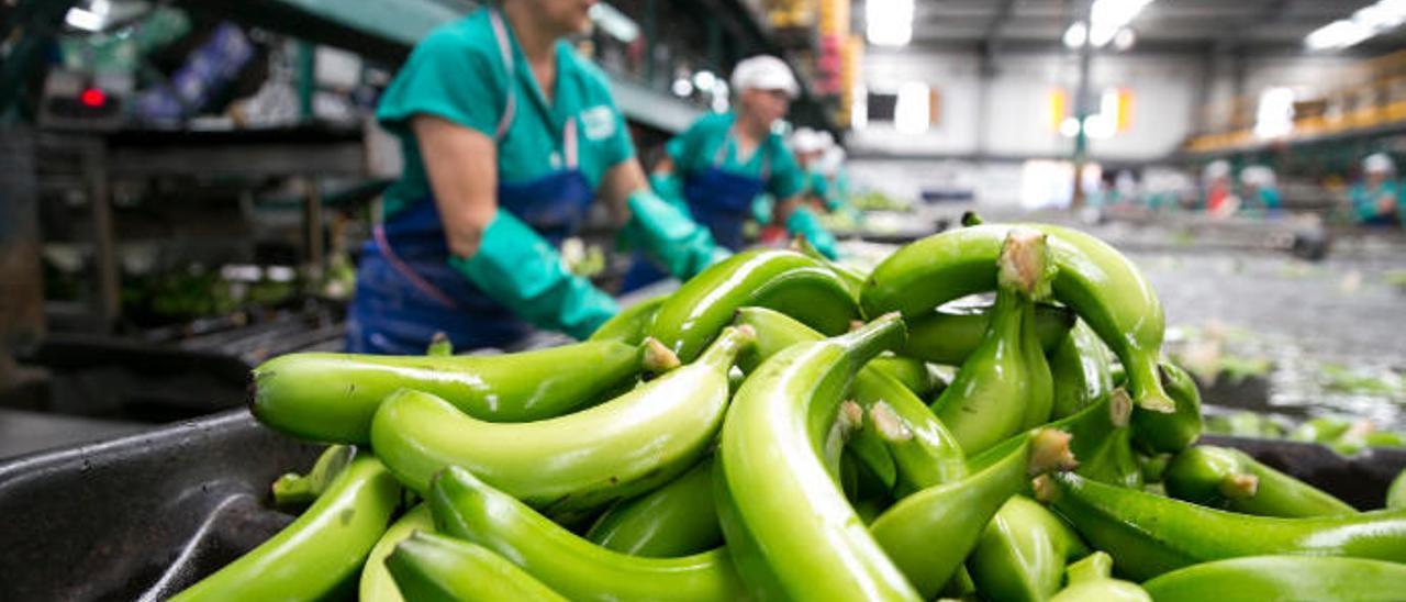 Producción de plátanos en Gáldar.