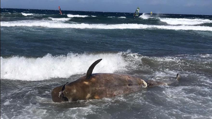 El cadáver de una ballena de cuatro metros encalla en Playa de Vargas