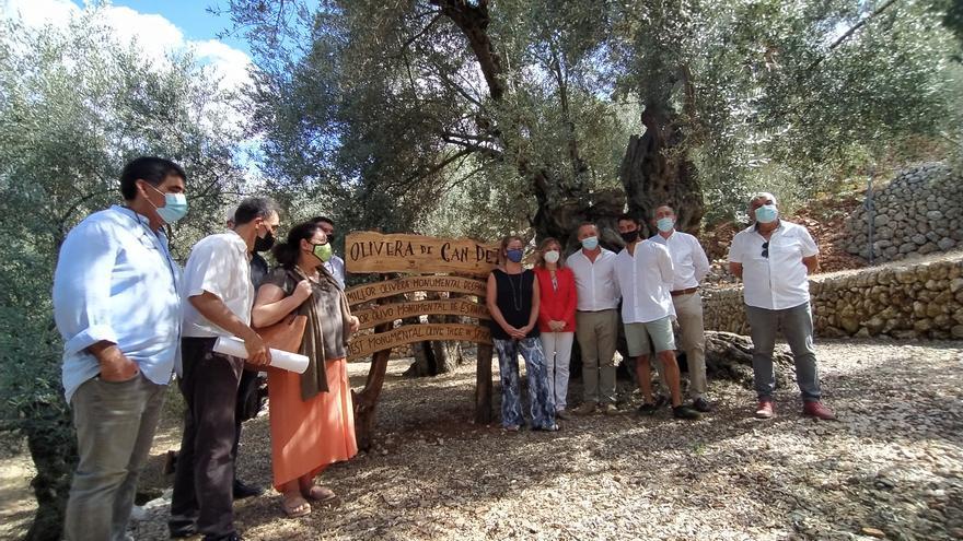 Un olivo milenario de Fornalutx recibe el premio al más monumental de España