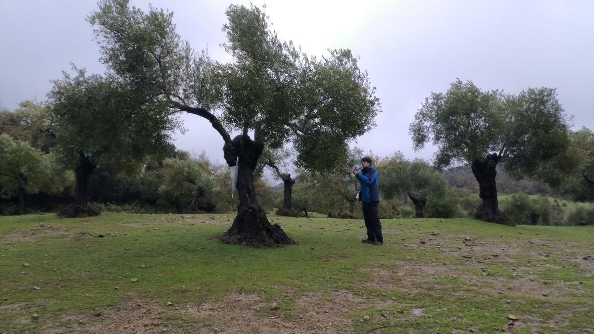Jaén.- Investigadores de la UJA comprueban la efectividad de las hormigas contra las dos principales plagas del olivo