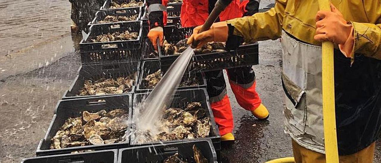 Eduardo Martín y Manuel Fernández, ayer, limpiando con una manguera las ostras recién sacadas de la ría, antes de meterlas en la depuradora. | T. C.