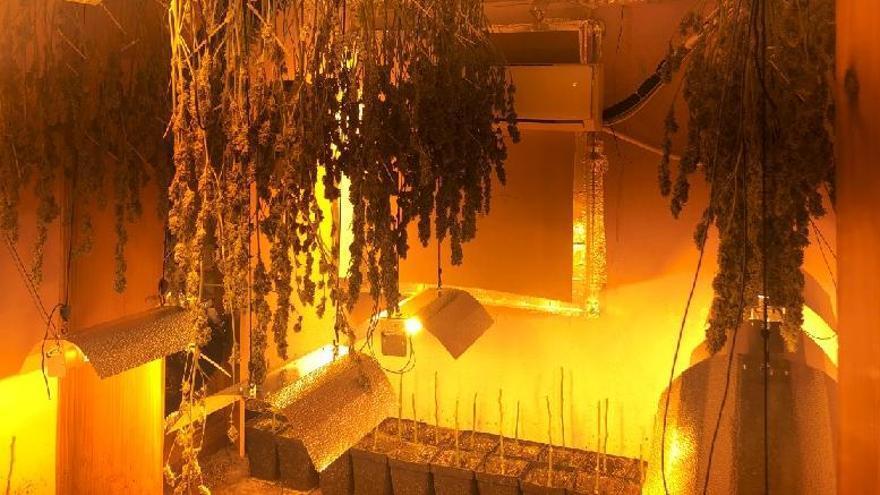 Localizadas más de 400 plantas de marihuana en una finca de Campanillas