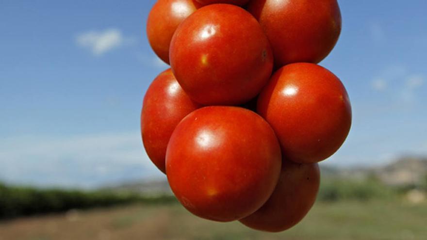 Los mejores tomates de penjar de la Comunitat son de Castellón