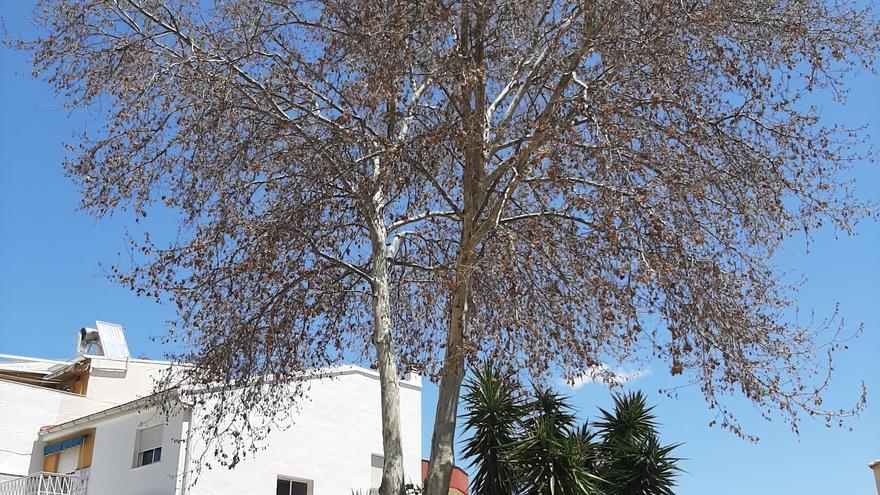 El Ayuntamiento de Bullas investiga el envenenamiento de un árbol platanero