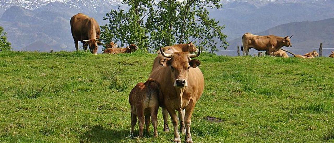 Vacas de la raza asturiana de los valles.