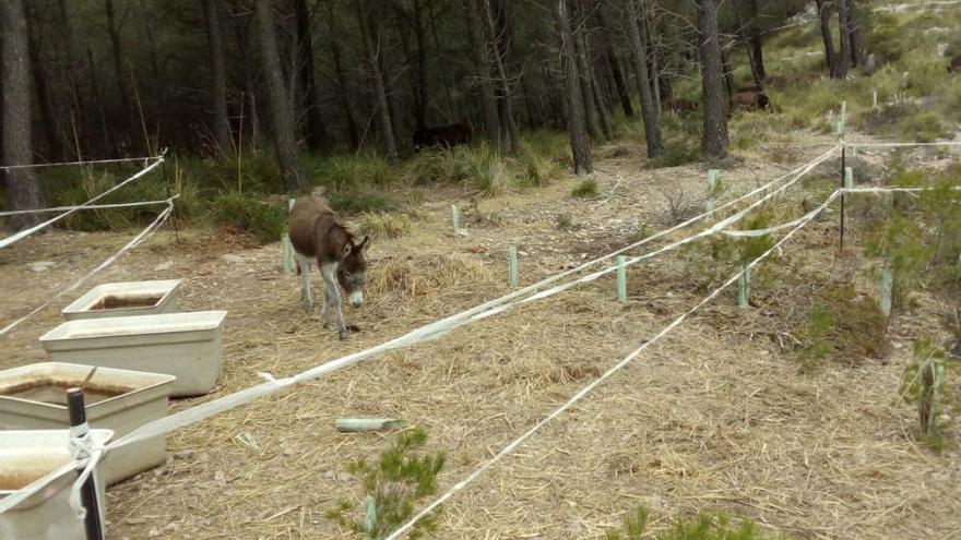 Bis zu 54 Esel sollen Waldbränden auf Mallorca vorbeugen