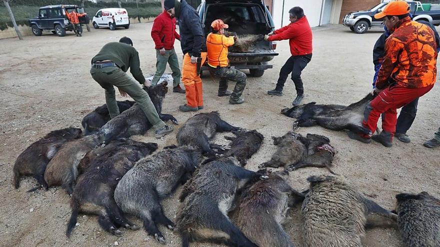 JARC alerta que la covid ha descontrolat les poblacions de senglars