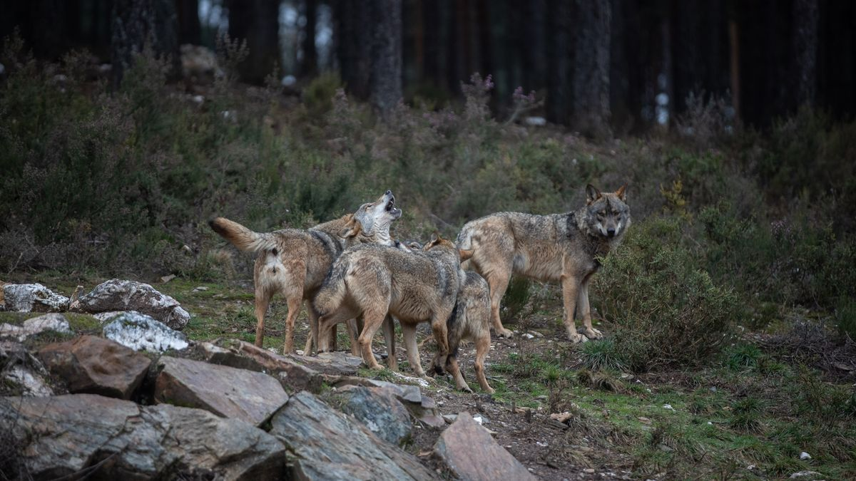 Lobos en el Centro del Lobo Ibérico de Robledo