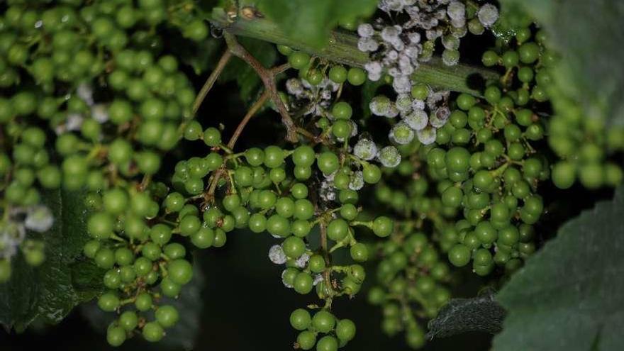 La plaga del mildiu se ceba con las cosechas de la patata, la uva y los cultivos de huerta