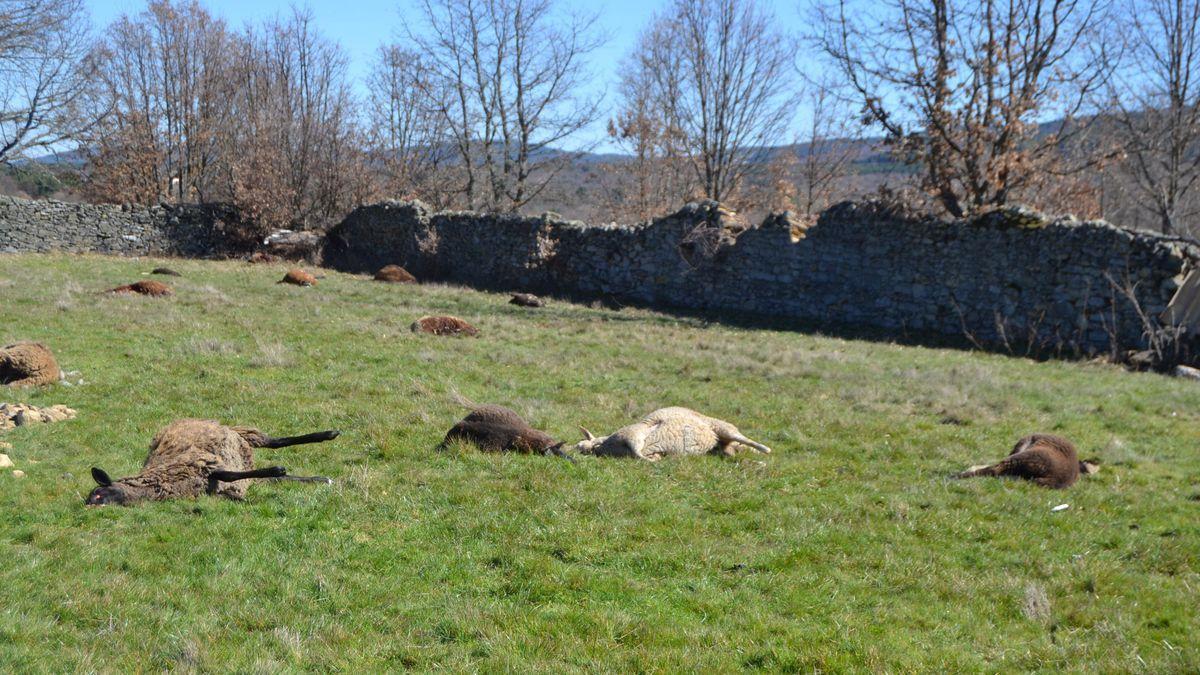 Ovejas muertas por un ataque del lobo en la provincia de Zamora