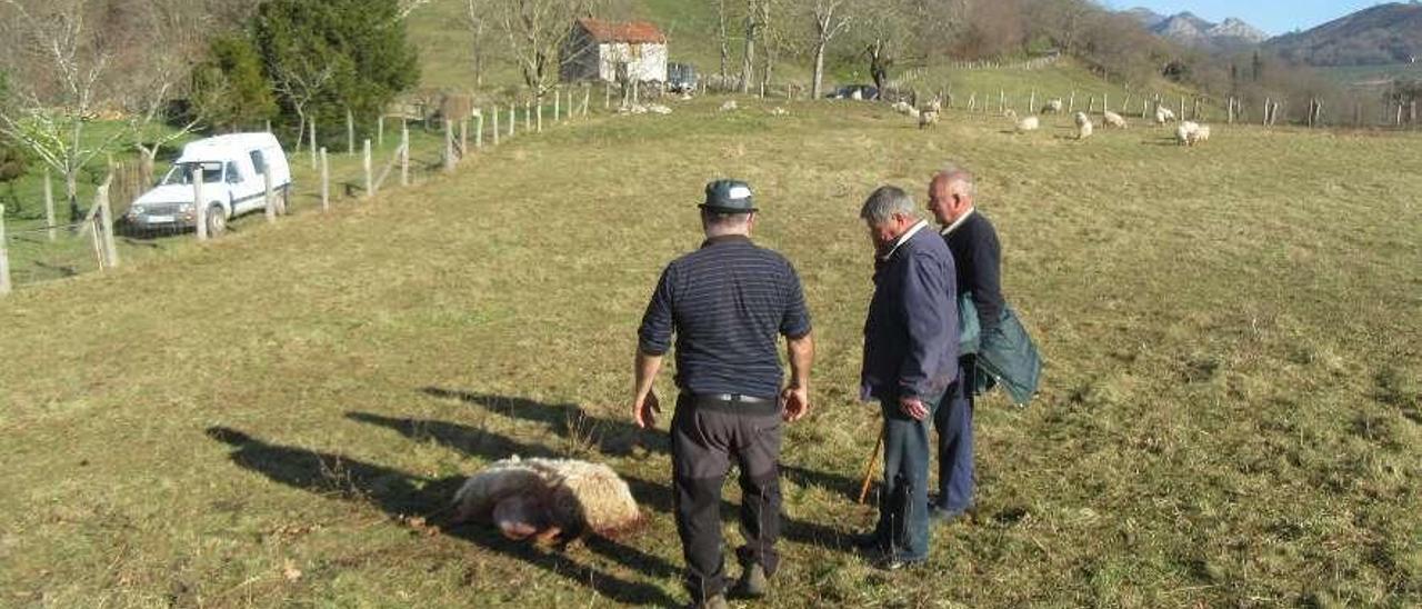 Tres hombres observan una de las ovejas muertas por el lobo en su último ataque en Nieda.