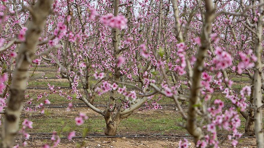 El abandono de cultivos desploma la producción de fruta de verano en Carlet