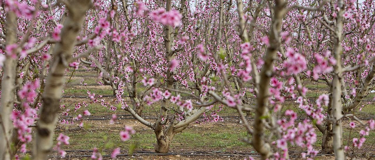 Un campo de melocotones de Carlet en plena floración en una imagen de principios de marzo. | PERALES IBORRA