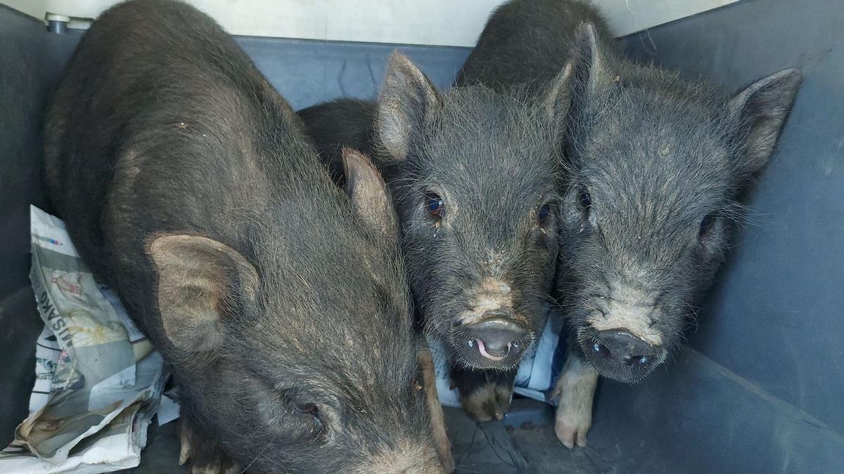 Imagen de los cerdos vietnamitas atrapados.