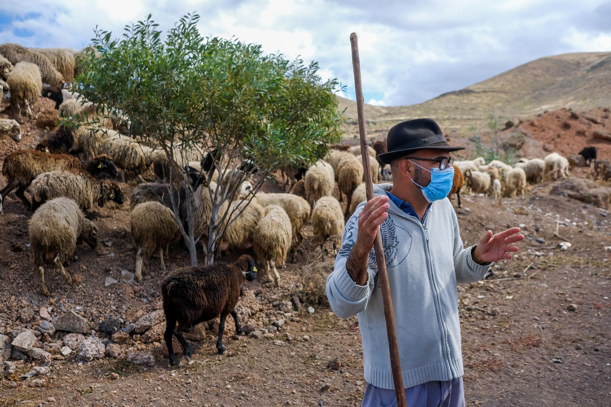 Ruymán Mena, único pastor trashumante de Telde