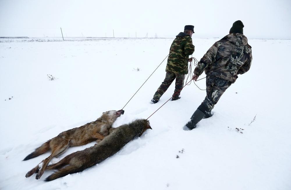 Cazadores transportan lobos matados en la zona radioactive de Chernobyl. Treinta años después de que más de 100.000 personas tuvieran que abandonar la región, ha habido una explosión demográfica de estos animales, también de alces y otros animales.