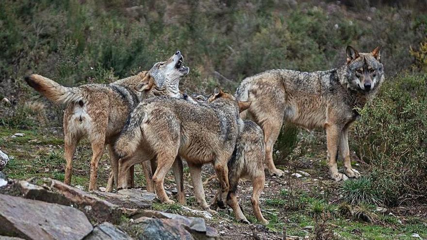 Lobo en Zamora | Asaja, COAG y UPA exigen al Gobierno que abra un proceso de diálogo sobre el cánido