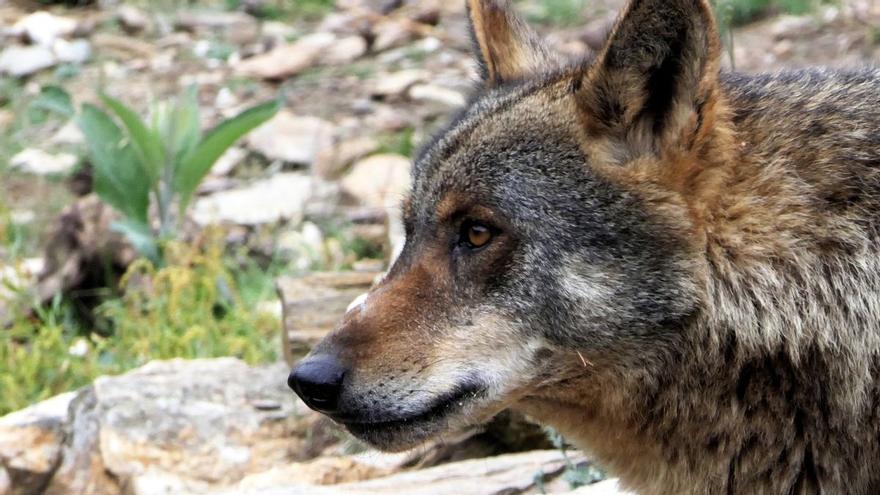 Disfraz de lobo con piel de cordero